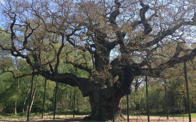 Oak Trees in the UK